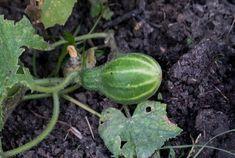 Secrete ale cultivarii castravetilor in gradina bio - magazinul de acasă Watermelon, Solar, Home And Garden, Design, Gardening, Stuffed Peppers, Vegetables, Food, Flowers