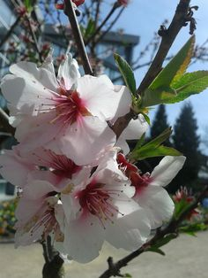 Mandel. Almond. Flower. Spring