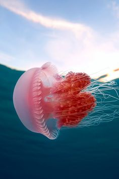 Pink and red jellyfish
