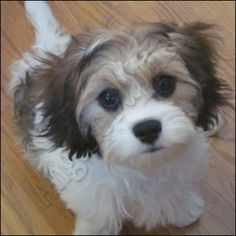 Cavachon / Never heard of a Cavachon before.....but I sure do LOVE IT!!!