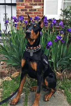 The Doberman Pinscher is among the most popular breed of dogs in the world. Known for its intelligence and loyalty, the Pinscher is both a police- favorite bree Puppies And Kitties, Cute Puppies, Cute Dogs, Doggies, Beautiful Dogs, Animals Beautiful, Cute Baby Animals, Animals And Pets, Canis Lupus
