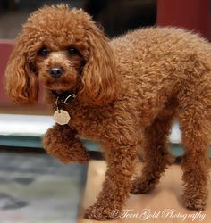 Mom had a chocolate poodle like this guy.  Her name was Cocoa.