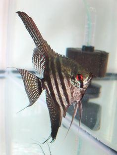 Blue Zebra Lace angelfish