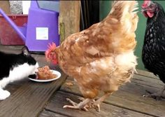 How to boost chickens protein over the winter, homesteading & livestock effective ideas. | http://pioneersettler.com/boost-chicken-feed-with-protein/