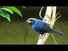CANTO DO AZULÃO | Ultramarine Grosbeak SINGING || - YouTube