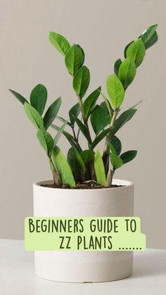 Zz Plant Care, Snake Plant Care, House Plant Care, Succulents Garden, Garden Plants, Indoor Plants, House Plants Decor, Plant Decor, Household Plants