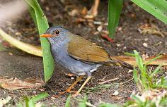 Orange-billed Nightingale-Thrush - Boquete Panama_H8O1767-165
