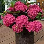 This mistake makes hydrangeas bloom less- Dieser Fehler lässt Hortensien weniger blühen Hydrangea in a bucket (Source: imago / Blickwinkel) - Flowers Background, Flowers Wallpaper, Hydrangea Bloom, Hydrangea Flower, Hydrangea Garden, Hydrangea Paniculata, Garden Types, Garden Care, Flowers Draw