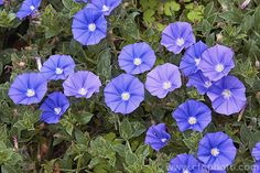Convolvulus sabatius (syn. Convolvulus mauritanicus) 'Blue Lake', brightly coloured, long-flowering cultivar of a spreading, mainly summer-blooming groundcover from Italy and northern Africa. It can be used in gardens to cover low banks or spill over walls.