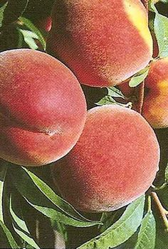 Peach Varieties Recommended For Austin Texstar La Feliciana Springold June Gold Bicentennial Sentinel Harvester Redgold And Dixiland