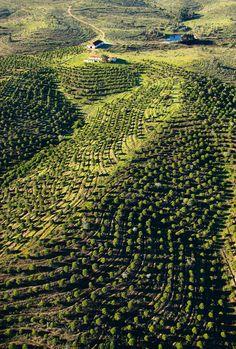 El vino forma una parte esencial de la cultura alentejana, Landscape, Olive Trees, Alentejo, Portugal  Traveler.es