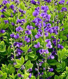 picture of false indigo | Blue False Indigo Perennial