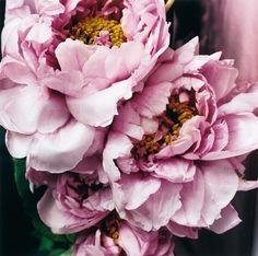 ❈ Fleurs Foncées ❈ dark art photography flowers botanical prints - pink peonies.