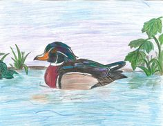 The 2013 Florida Junior Duck Stamp of Ramisa Alam, 12, honorable mention in Group 2, grades 4-6. DDWS photo