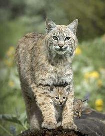 Bobcat & kittens