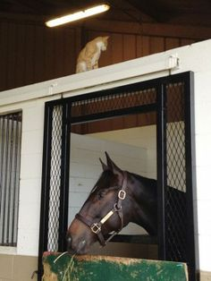 Zenyatta's son Cozmic One, by Bernardini, at Mayberry Farm, with his feline friend Daisy watching over him.