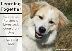 """January 5th marked one year since, our Great Pyrenees/Karakachan dog, came to live with us. I thought & prayed about getting a livestock guardian dog for quite a while, and had joined a few Facebook groups that specifically focused on LGD-raising as a way to ""get my feet wet"". I thought that I would sit back and observe, read others' tips and stories, and keep an eye out for an available…"