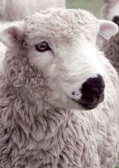 Darcy, one of our Grey Face Dartmoor Sheep