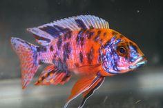 Image of Peacock cichlids fish!