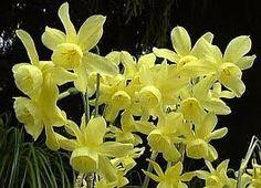 Hawera Narcissi - fragrant and long lasting