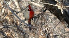 Half-male, half-female bird has a rough life