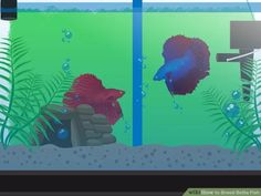 How to Breed Betta Fish (with Pictures) - wikiHow Beta Fish Care, Betta Fish Tank, Fish Tanks, Breeding Betta Fish, Cool Fish, Siamese Fighting Fish, Beautiful Fish, Exotic Fish, Aquarium Fish