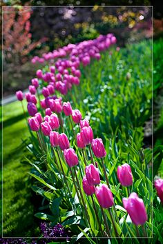 Every year I swear I am going to plant these and then I regret not doing it on the cusp of Spring!!!! Pink Tulips, Yellow Roses, Pink Roses, Flower Beds, Cactus Flower, Dream Garden, Beautiful Flowers, Beautiful Gorgeous, Exotic Flowers