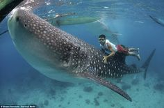Oslob, Cebu Philippines  Swim with whale sharks. NO,NO, NO NO!!! This whale shark is fully able to feed itself. I wonder if they are luring them in to hunt these whale sharks.