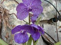 pestovanie orchideí - Vanda
