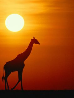 Google Image Result for http://imgc.allpostersimages.com/images/P-473-488-90/26/2684/VNXUD00Z/posters/medford-taylor-silhouette-of-a-giraffe-at-sunrise.jpg