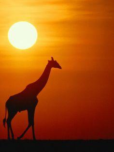 Giraffe at Sunrise - gotta love Africa. I miss it a lot.