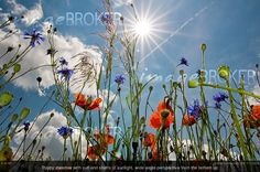 Photographer of the Month April 2012: Daniel Schoenen (RM 1112256). Image showing a poppy meadow with sun and shafts of sunlight, wide angle perspective from the bottom up