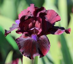 """(H. Stout 2016) SDB iris, 11.5"""", M. Flowers: S. and style arms dark red violet; F. deep, dark black cherry, darker in center with black veining. Beards are bright violet purple, bronze tips. Sdlg. TA4"""