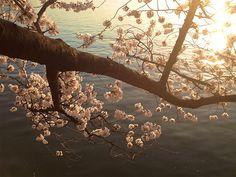 Cherry BlossomsDC24_MQ2013