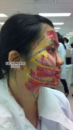 Makeup studying: Muscles of Facial Expression & Facial Cranial Nerves Love this!… Makeup studying: Muscles of Facial Expression & Facial Cranial Nerves Love this! What a great idea for Halloween or just to wear to class on cranial nerve day! Facial Anatomy, Brain Anatomy, Human Anatomy And Physiology, Body Anatomy, Skull Anatomy, Dental Assistant Study, Dental Hygiene School, Physician Assistant, Med School