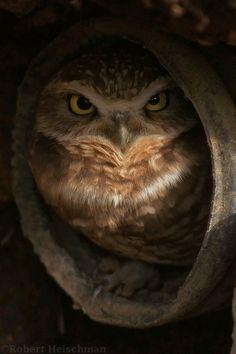 Beautiful Owl x