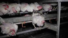 Auch Bio ist Tierqual - Animal Equality Recherche
