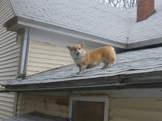 How did that Corgi get up there?!