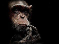 Photo Chimpanzee by Aleksandar  Savic on 500px
