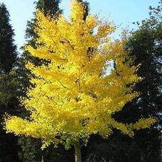 Un feuillage jaune d'or somptueux à l'automne .
