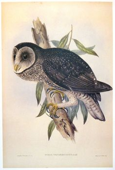 "John Gould Australian Sooty Owl Strix Tenebriosus print Reproduction print from a hand-coloured lithograph of the famous ""Birds of Australia"" by John Gould, published in London between 1840 and 1848. The original hand-coloured lithograph was by Henry Richter from the drawing by  John Gould. http://www.heritage-editions.com.au/p-75-11-john-gould-australian-sooty-owl-strix-tenebriosus-print.aspx"