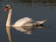 Dit blijf ik zelf 1 van mijn mooiste foto's van een zwaan vinden,qua kleuren en weerspiegeling:)