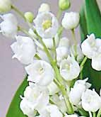 Lilly of the valley, smells so beautiful it adds fragrance to the night air