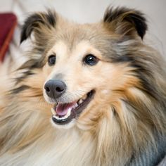 The Shetland Sheepdog originated in the and its ancestors were from Scotland, which worked as herding dogs. These early dogs were fairly Shetland Sheepdog Puppies, Akc Breeds, Sheepdog Tattoo, Mini Collie, Herding Dogs, Sheltie, Beautiful Dogs, Rescue Dogs, Animals
