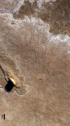 million year old elephant footprints recently found in the United Arab Emirates. Do you see the big rock to the left? I see a dog face. Elephant Footprint, Animal Footprints, Walking With Dinosaurs, Elephant Family, Like Animals, Natural World, Aerial View, Prehistoric, Mammals