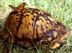 Male Eastern Box Turtle & Lady Butterfly Friend