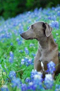 blue bonnet lacy 2 by julie neumann I Love Dogs, Cute Dogs, Blue Lacy, Animals And Pets, Cute Animals, Blue Garden, Blue Bonnets, Dog Shirt, Dog Photos