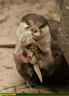 Baby otter and mommy