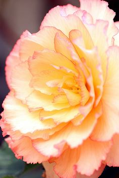 Begonia | by Shingan Photography