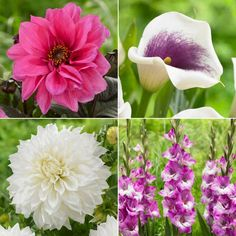 208 best summer blooming bulbs images on pinterest in 2018 spring 208 best summer blooming bulbs images on pinterest in 2018 spring plants bloom and bulb mightylinksfo